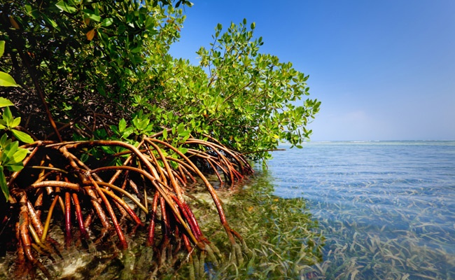 Red-mangrove-forest